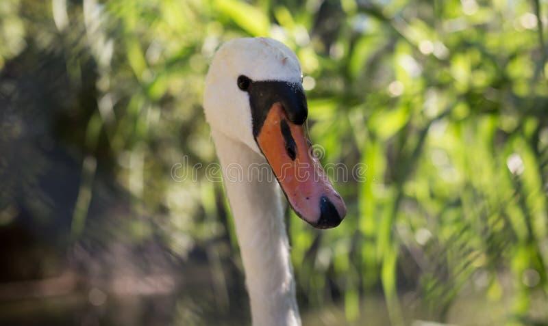 Cygne blanc dans le zoo photos libres de droits