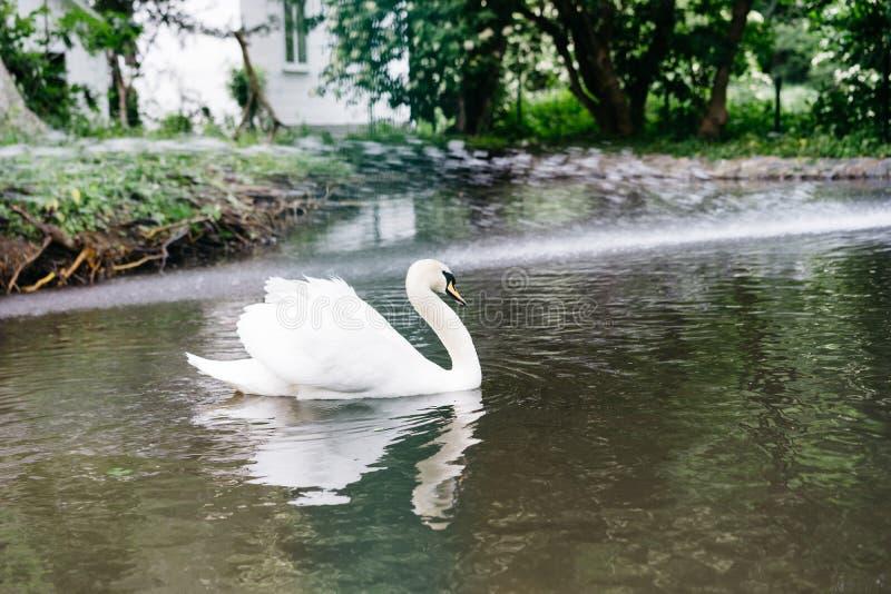 Cygne blanc dans les bains de zoo dans l'étang photos stock