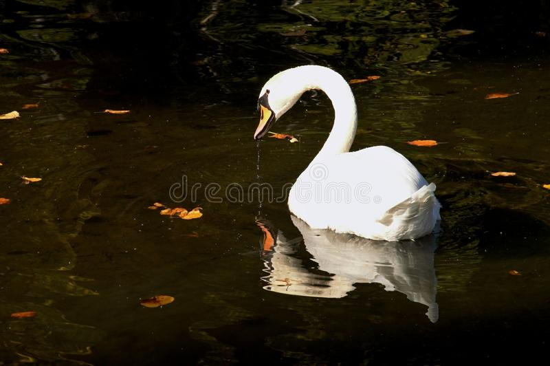 Cygne blanc dans un lac, teplice de Rajecke, Slovaquie photo stock