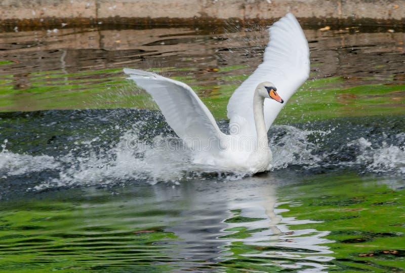 Cygne blanc flottant dans le lac avec de l'eau vert images stock