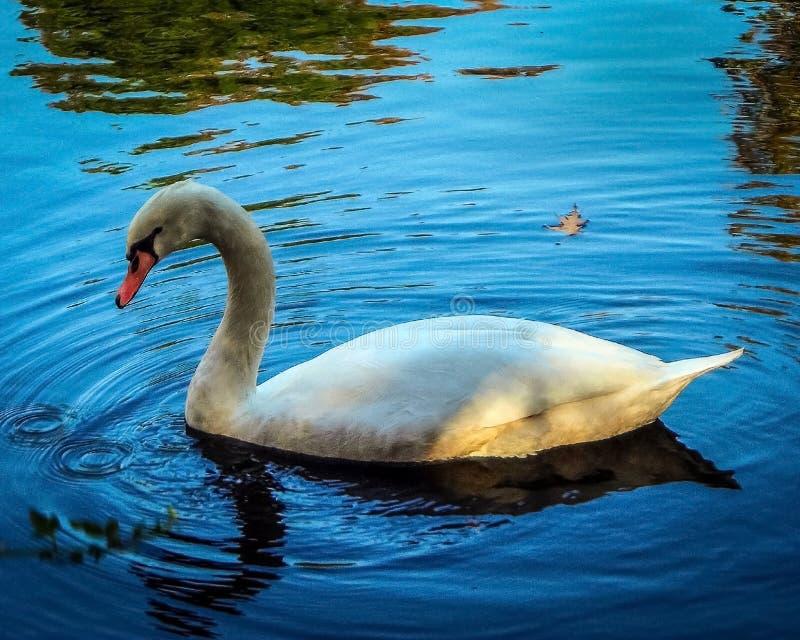 Cygne blanc, l'eau bleue photographie stock libre de droits