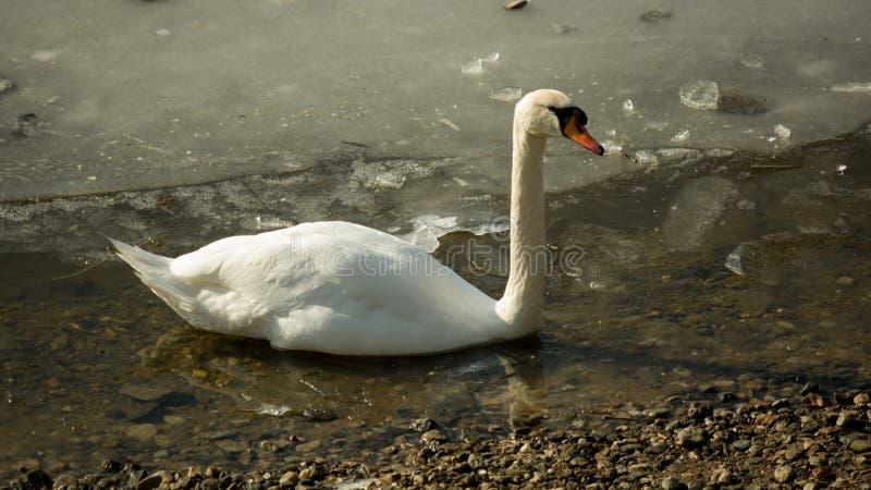 Cygne blanc sur le lac congelé II images libres de droits