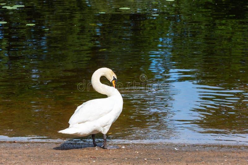 Cygne blanc sur le rivage d'un ?tang photos stock