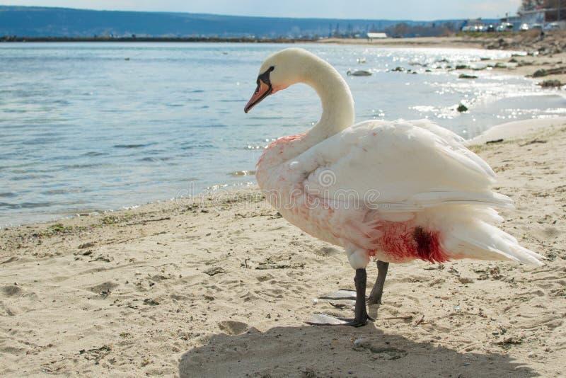 Cygne blessé sur la plage photo stock