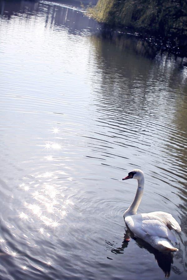 Cygne d'Ouse de rivière photo stock