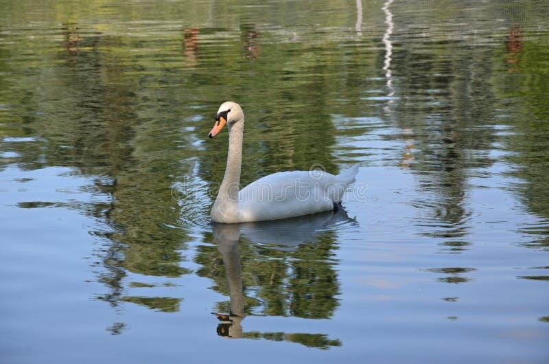 Cygne dans l'étang image stock