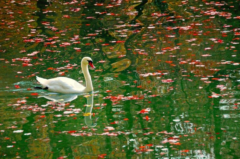 Cygne dans l'étang d'automne image libre de droits