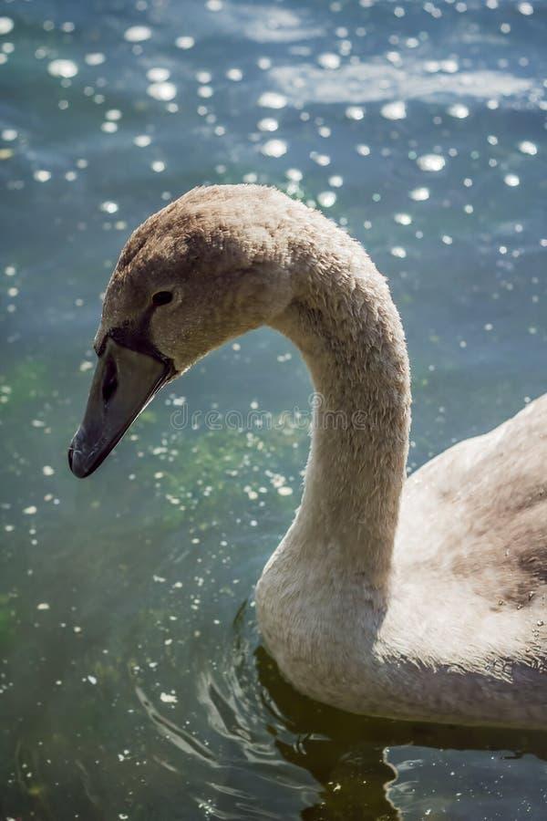 Cygne dans le lac images stock