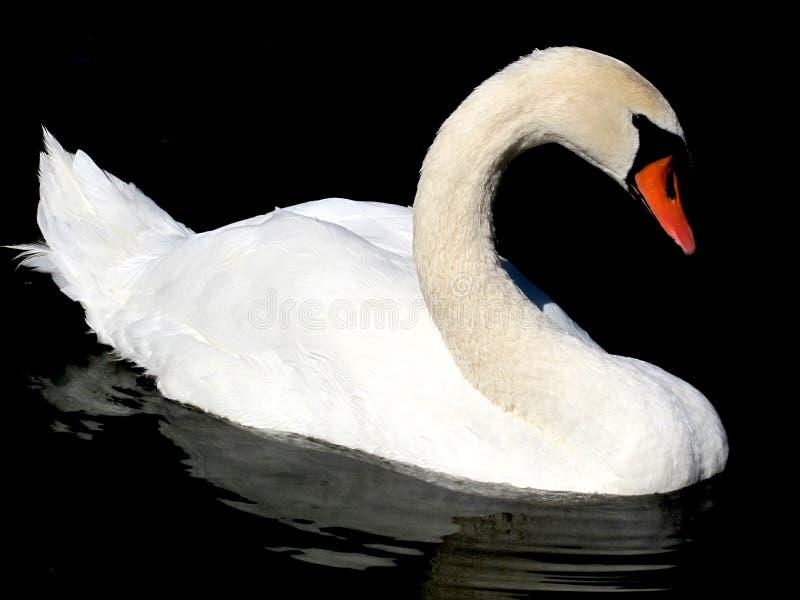 Cygne dans un lac image stock