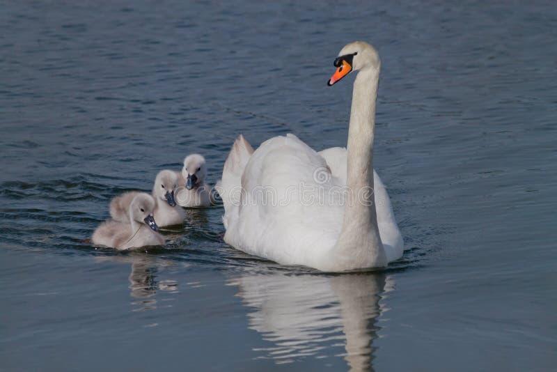 Cygne de parent photo stock