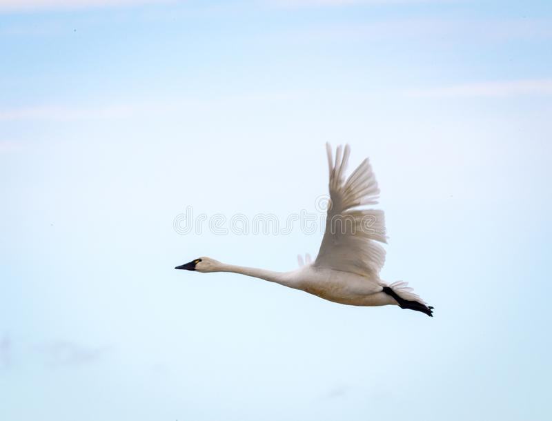 Cygne de toundra photo stock