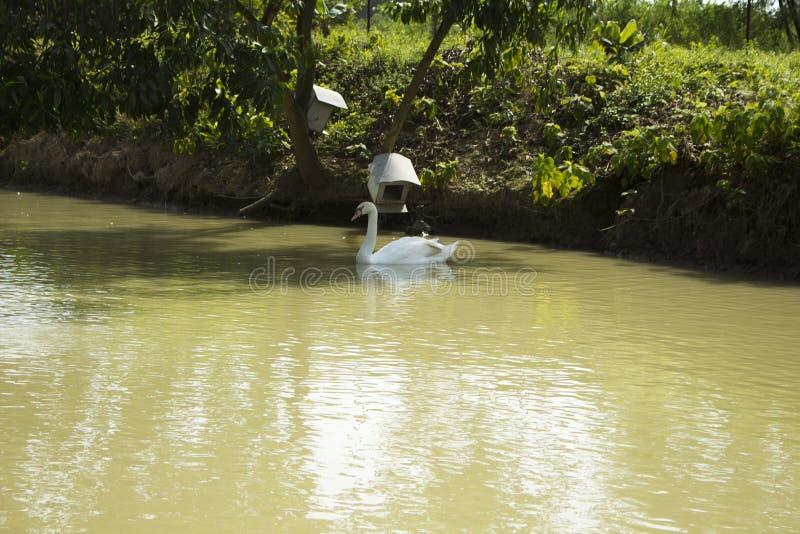 Cygne de toundra au Bangladesh 2015 photographie stock