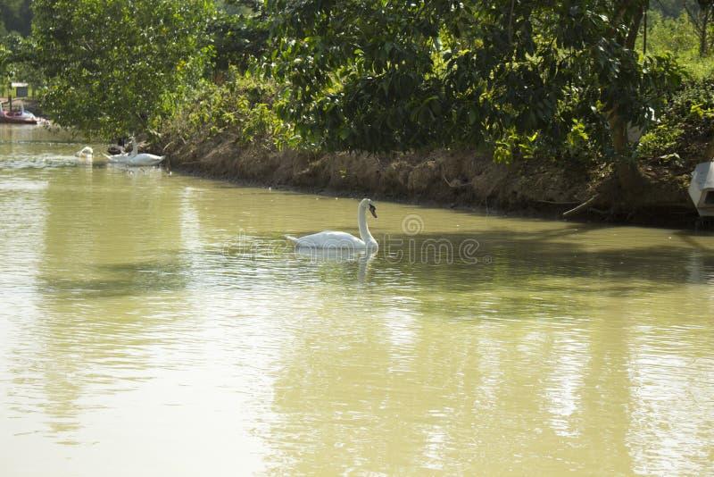 Cygne de toundra au Bangladesh 2015 image libre de droits