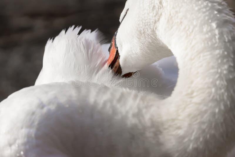 Cygne de trompettiste élégant nettoyant ses plumes avec son bec, clos photos stock