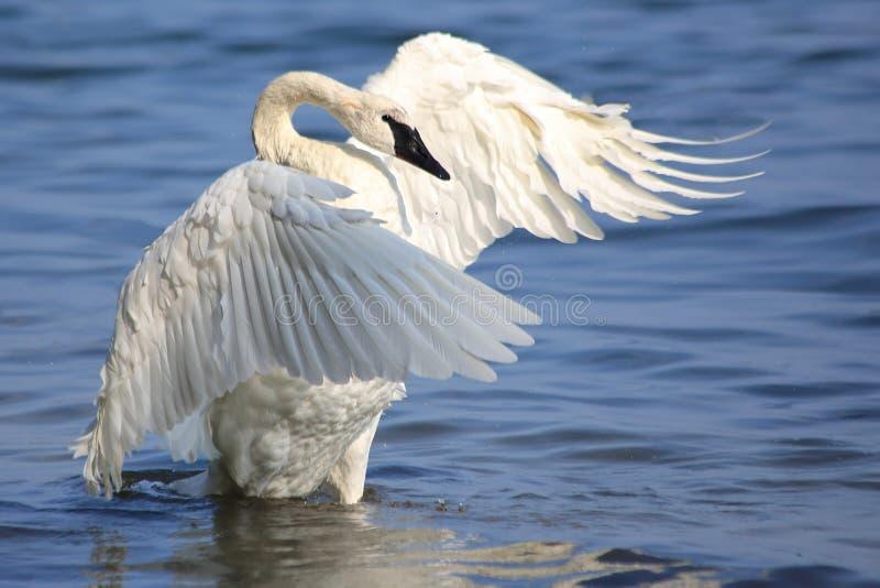 Cygne de trompettiste agitant des ailes pour sécher images stock