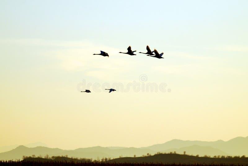 cygne de vol photo libre de droits