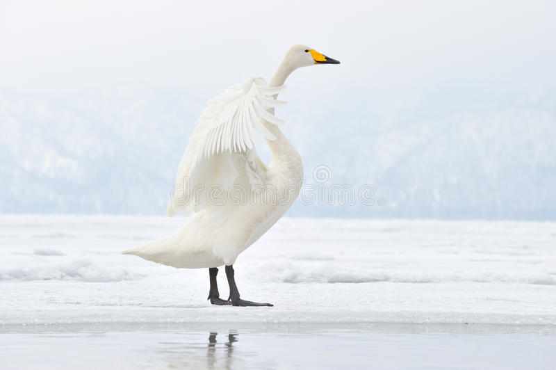Cygne de Whooper images stock