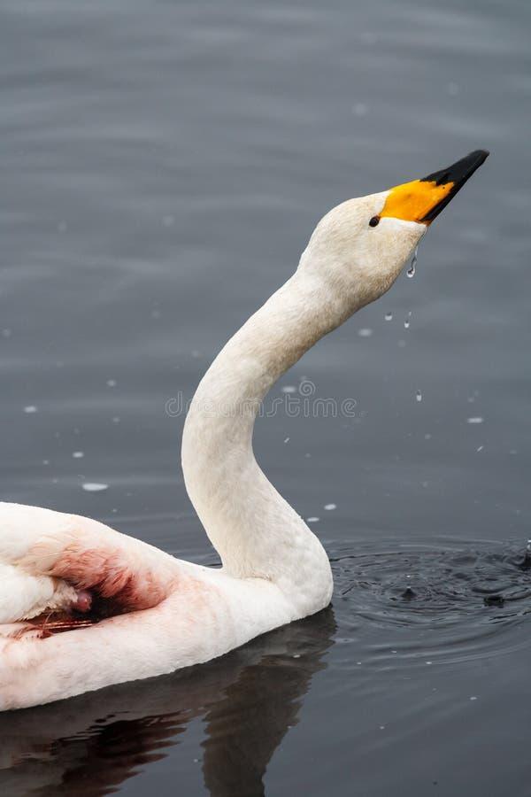 Cygne de whooper blessé photographie stock