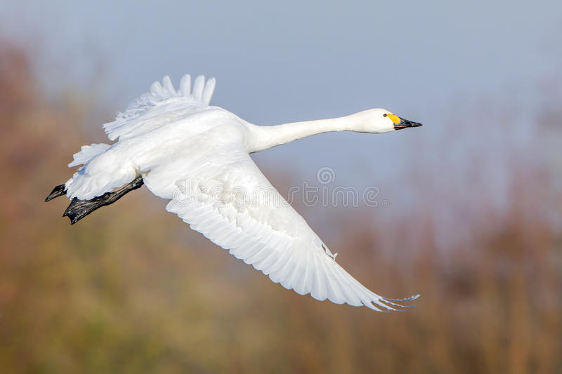 Cygne du ` s de Bewick en vol photos stock