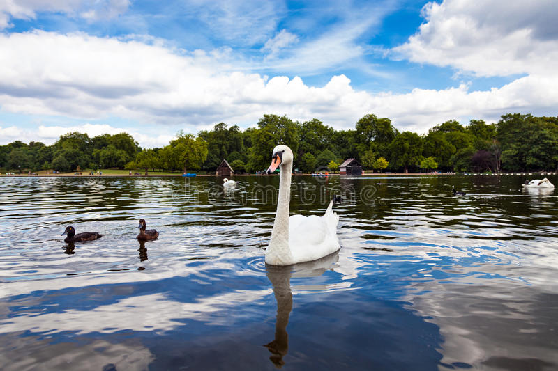 Cygne en Hyde Park photographie stock