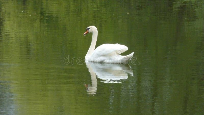Cygne en nature avec la réflexion photos stock