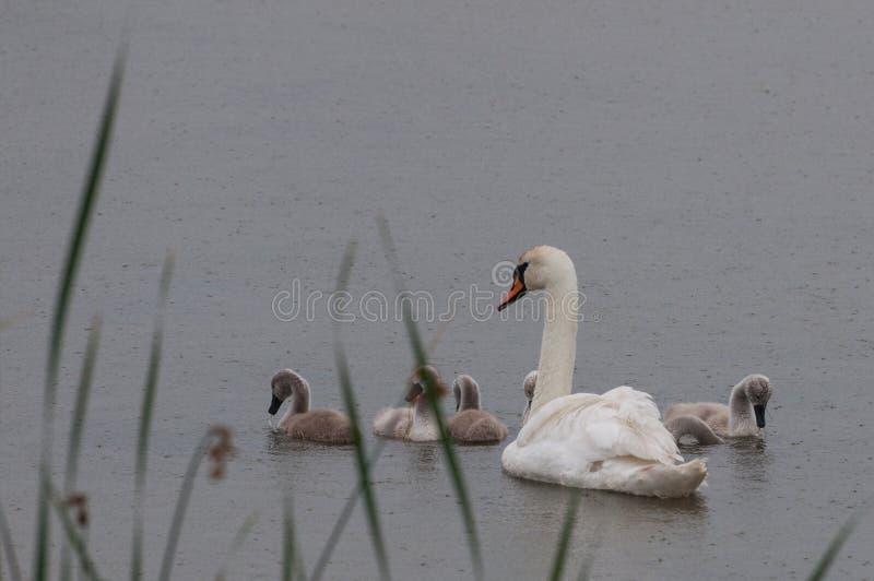 Cygne et bébés de mère sous la pluie images libres de droits