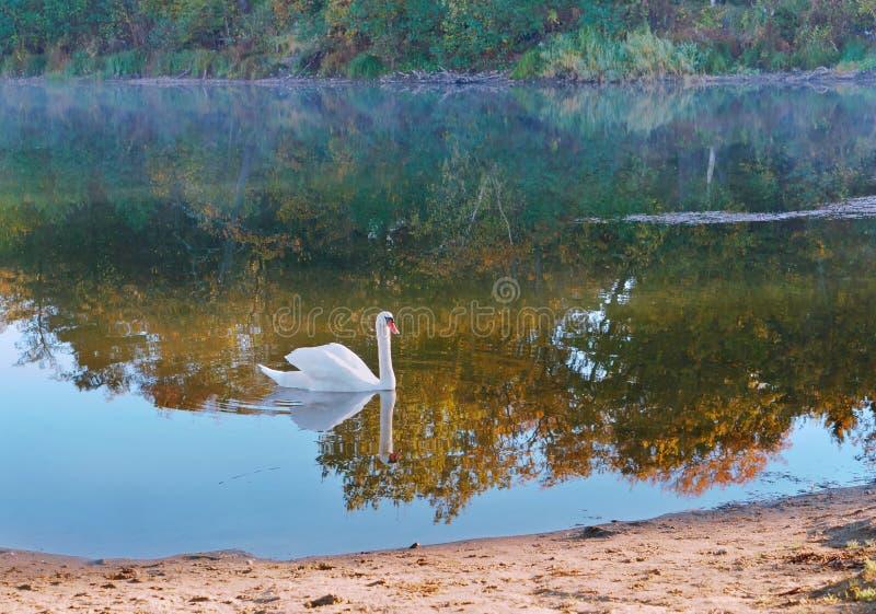 Cygne et brouillard de matin, cygne pendant le matin sur le lac photos stock