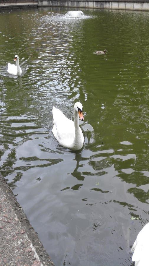 Cygne et canard blancs sur l'étang image libre de droits