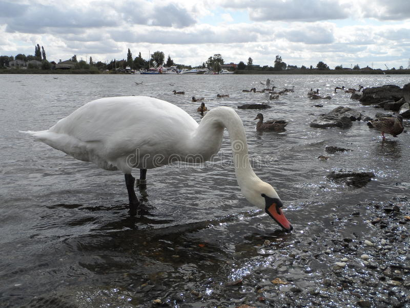 Cygne et la rivière image stock
