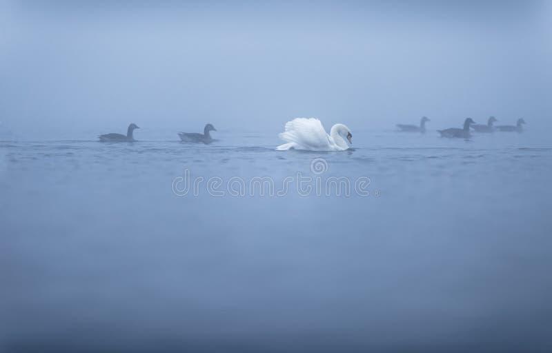 Cygne et oies sur Misty Lake images stock