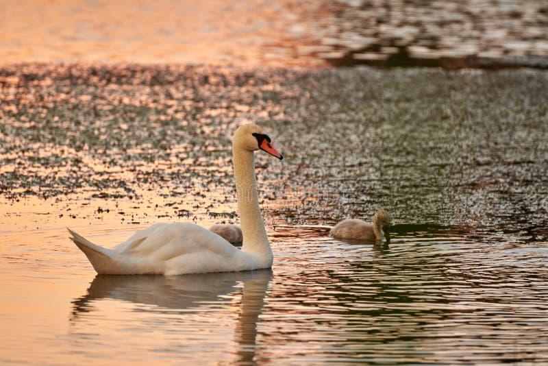 Cygne et poussins sur le lac dans les rayons du coucher du soleil photo libre de droits