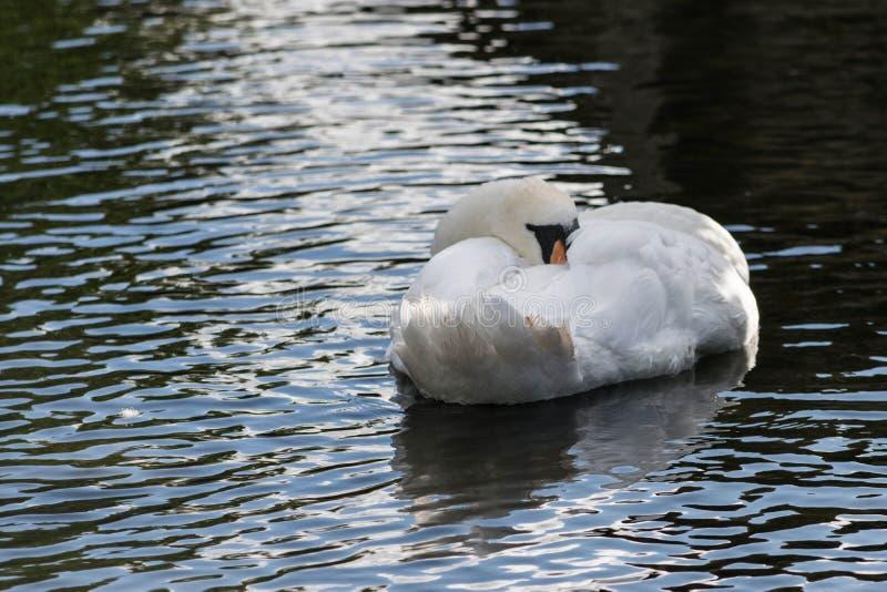 Cygne muet dans un lac photographie stock