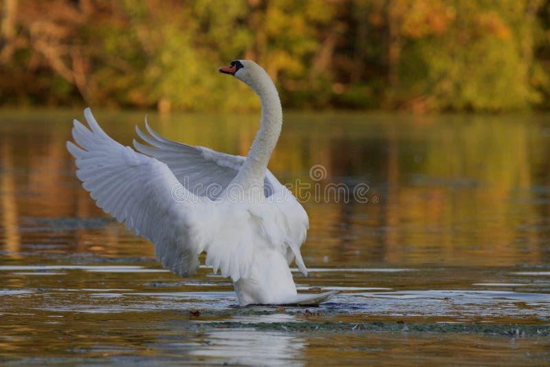 Cygne muet sur un lac dans l'automne images libres de droits