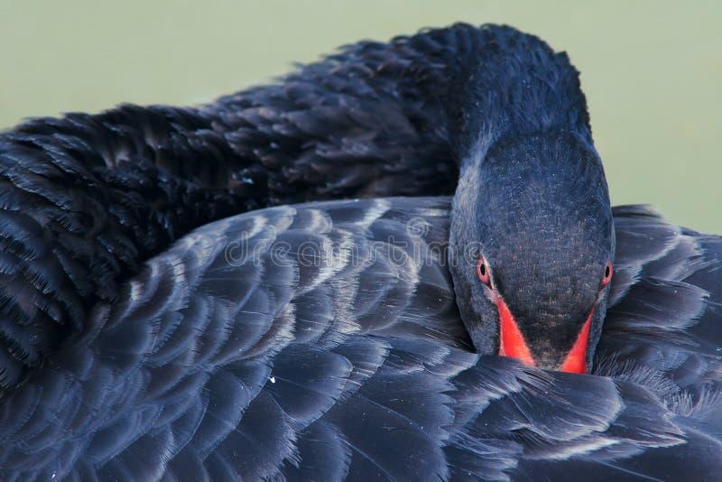 Cygne noir photographie stock libre de droits