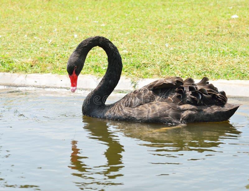 Download Cygne noir image stock. Image du majestueux, rouge, extérieur - 45359961
