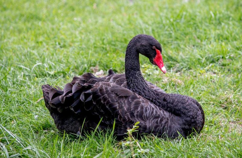 Cygne noir dans l'herbe images libres de droits