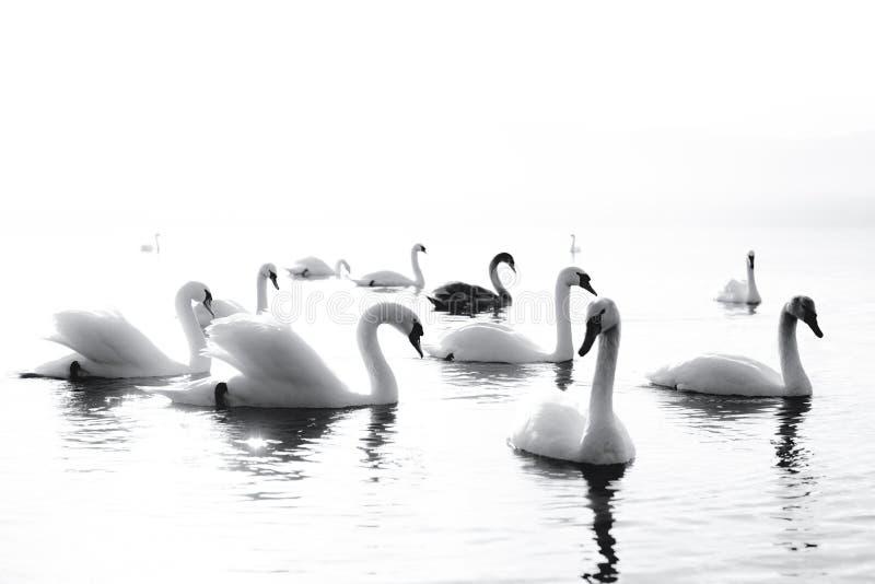 Cygne noir et blanc photos libres de droits
