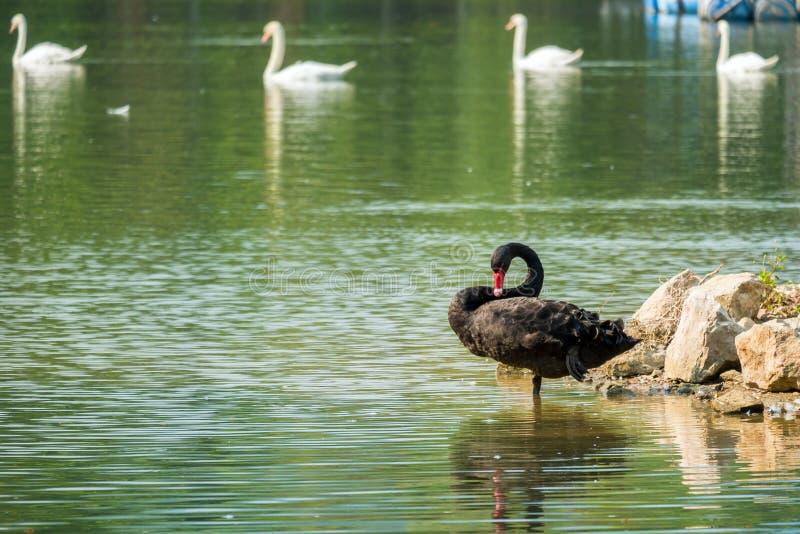 Cygne noir seul dans le lac vert photo libre de droits
