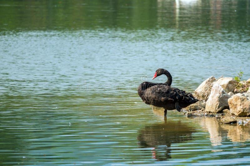 Cygne noir seul dans le lac vert photos stock