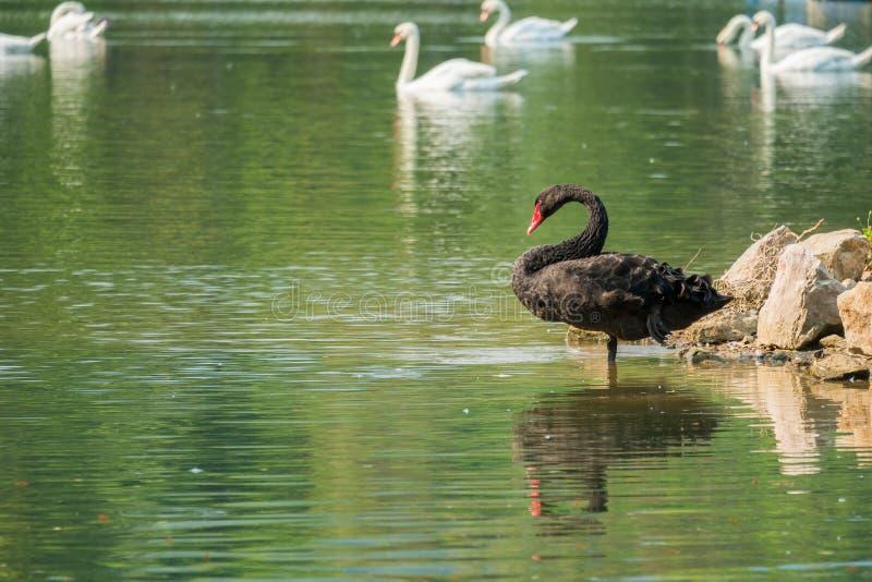 Cygne noir seul dans le lac vert photo stock
