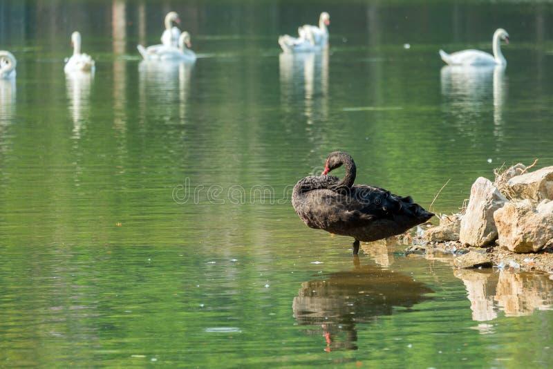 Cygne noir seul dans le lac vert images stock
