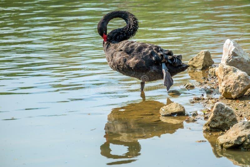 Cygne noir seul dans le lac vert images libres de droits