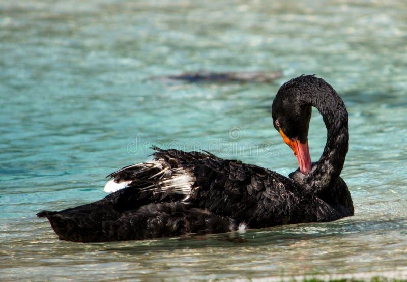 Cygne noir toilettant ses plumes photographie stock