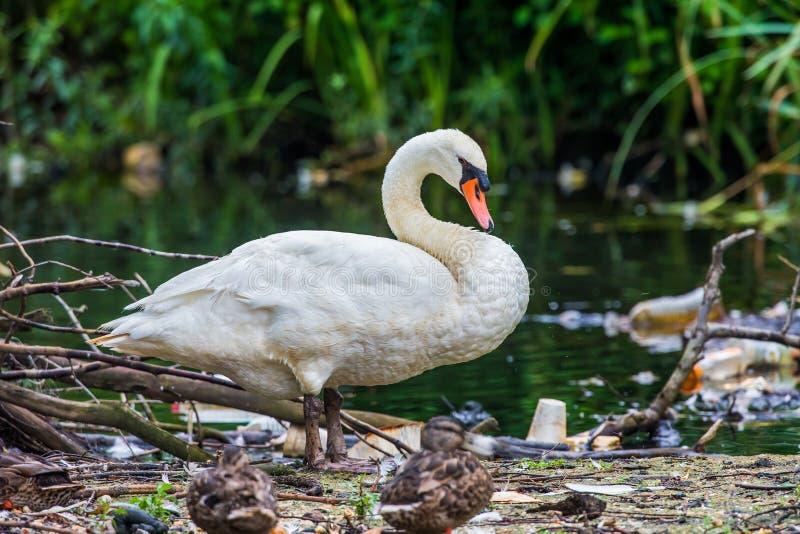 Cygne près d'un étang. photo libre de droits