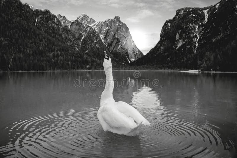 Cygne soulevant son cou vers le haut de haute photos stock