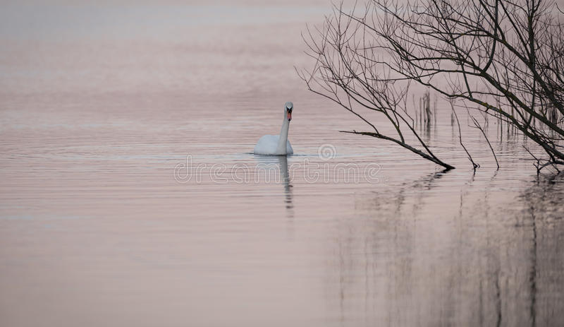 Cygne sur l'eau rose photos libres de droits