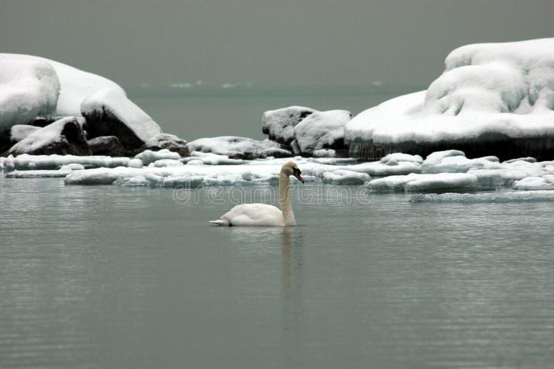 Cygne sur la glace photos libres de droits