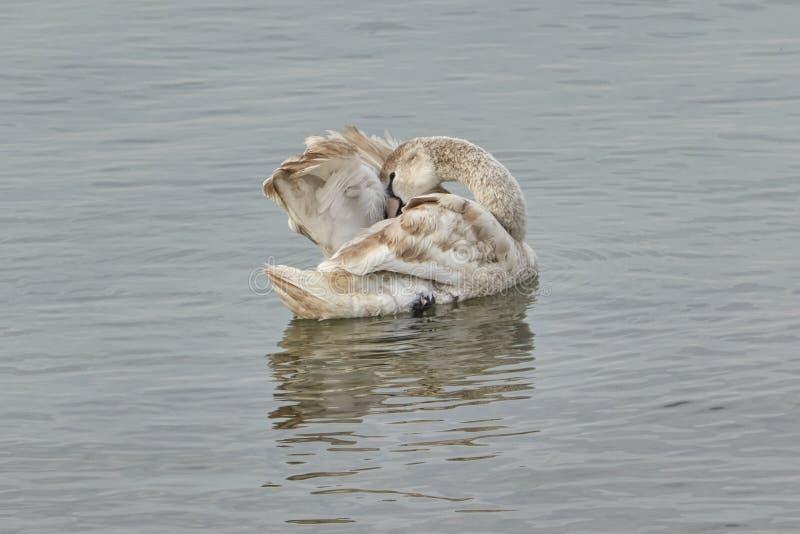 cygne sur la plage au lac image libre de droits