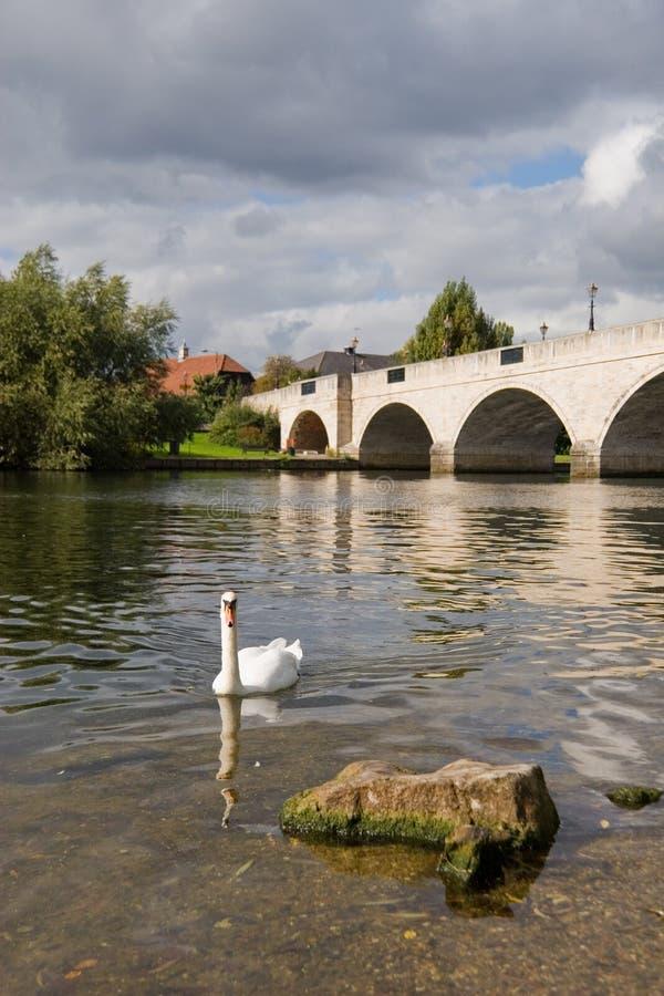 Cygne sur le fleuve images stock