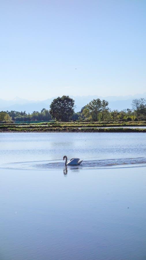 Cygne sur le gisement de riz dans Pi?mont, Italie images libres de droits